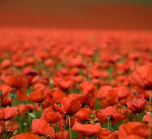 field of poppies  by Alex Sharp