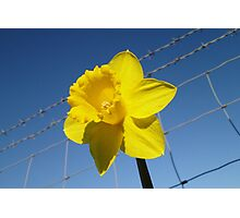 Daffy On The Safe Side Of The Fence Photographic Print