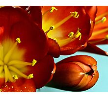 Blooming beauty - Clivia Photographic Print