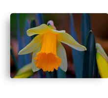 Wild Daffodil Trumpet and Head. Low Coniscliffe, England Canvas Print