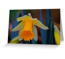 Wild Daffodil Trumpet and Head. Low Coniscliffe, England Greeting Card