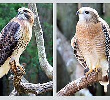 Two Hawks by AuntDot