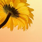Beautiful yellow by digiphotography