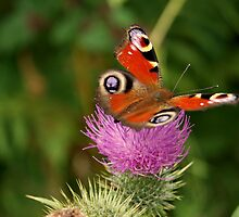 Delicate butterfly on threatenting thistle by Sezbomb