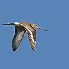 Female Black-tailed Godwit by Robert Abraham