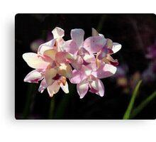 Backlit Orchids Canvas Print