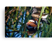 Reflections of a Mandarin Duck Canvas Print