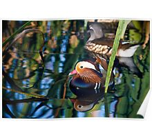 Reflections of a Mandarin Duck Poster