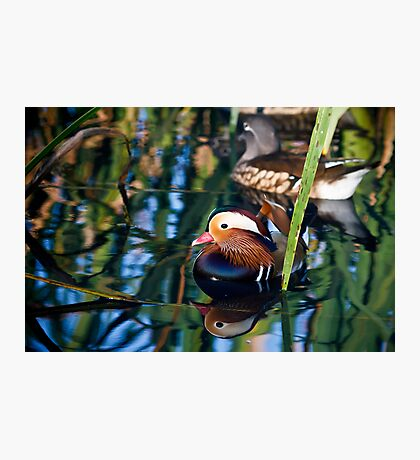 Reflections of a Mandarin Duck Photographic Print