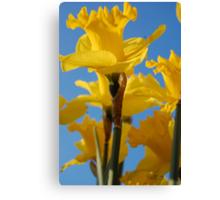 Daffodils in Bloom Canvas Print
