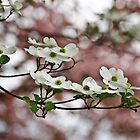 White Dogwood Blooms/Pink Dogwood Backdrop by DonCondley