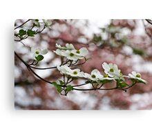 White Dogwood Blooms/Pink Dogwood Backdrop Canvas Print