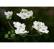 White Dogwood Blooms Photographic Print