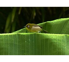 White-Eye Japanese Finch Photographic Print