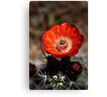 Hedgehog Cactus  Canvas Print