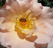 Bee at Work,Open Garden, Canberra, Australia. by kaysharp