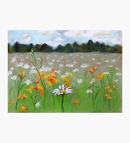 Camomile field. Photographic Print
