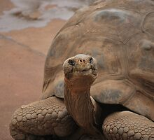 Galapagos Turtle by PeteJoey