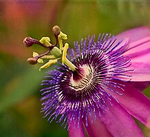 Passion flower in pink and purple by Celeste Mookherjee