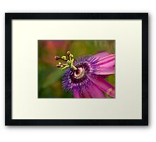 Passion flower in pink and purple Framed Print