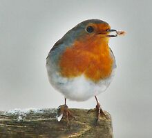 European Robin (red brest) with his catch by Johan  Nijenhuis