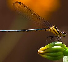 Is it Dragonfly ? any one know the species name please suggest me , i need know that  by Deepjay Sarkar