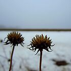 Two rattlesnake master seedheads by sarahtakespics