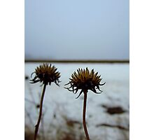 Two rattlesnake master seedheads Photographic Print