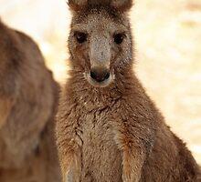 Kangaroos up Close by Justine Armstrong
