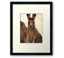 Kangaroos up Close Framed Print