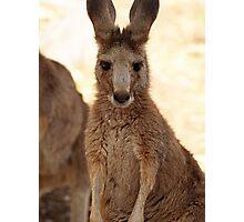 Kangaroos up Close Photographic Print