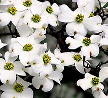 Dogwoods III by Scott Mitchell