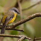 Eastern Yellow Breasted Robin by smylie