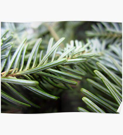 Balsam fir needles Poster