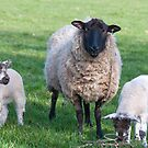 Spring ewe and lambs by Elaine Hillson