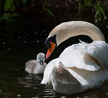 First swim! swan chick and male swan, Tinnahich, County Carlow, Ireland by Andrew Jones