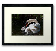 First swim! swan chick and male swan, Tinnahich, County Carlow, Ireland Framed Print