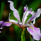 Coast Iris by Ron Hannah