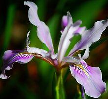 Coast Iris by Ron Hannah
