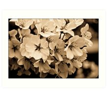 Sepia Cherry Blossoms Art Print