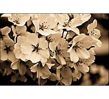 Sepia Cherry Blossoms Photographic Print