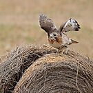 Red-tailed Hawk by Bill McMullen