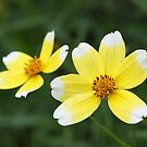 Yellow Flower at Ventnor Botanic Gardens by Phill Sacre