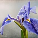 Blue Iris by Beth Mason