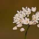 Allium subhirsutum by Csar Torres