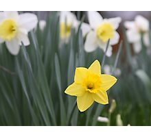 Daffodils Mean Spring Even Though it's Only March! Photographic Print