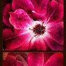 Largo Rose Diptych by Beth Mason