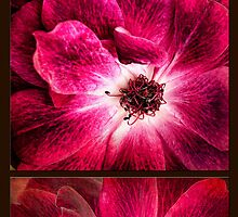 Largo Rose Diptych by Beth Mason