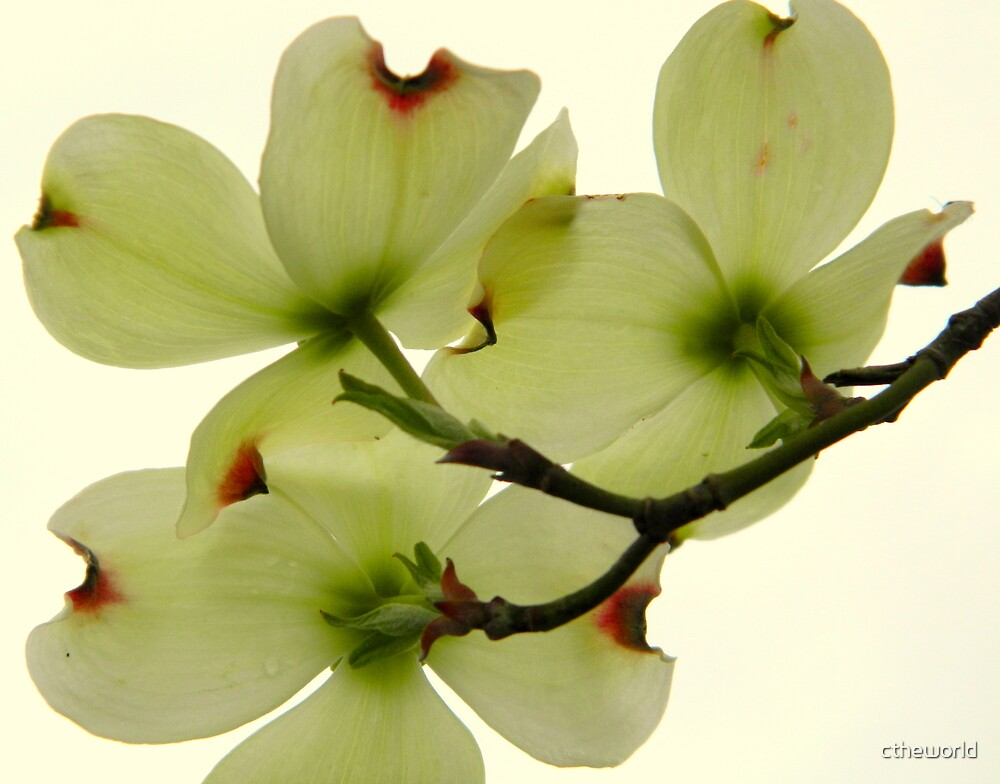 Dogwood Bloom - 5   ^ by ctheworld