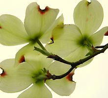 Dogwood Bloom - 5   ^ by ctheworld